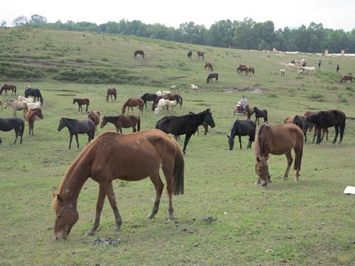 Về nơi lưu giữ, phát triển giống ngựa