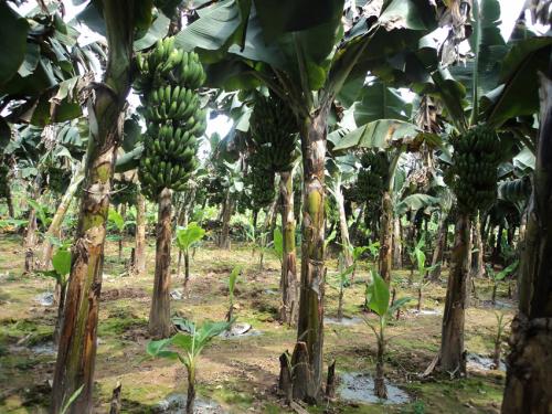 Hiệu quả mô hình trồng xen canh chuối tiêu hồng