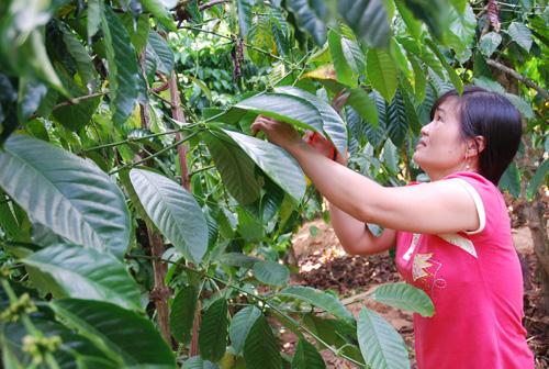 Khoảng 50% sản lượng cà phê đang 'găm hàng' chờ tăng giá