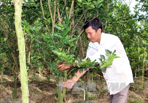 Anh Phan Văn Chung đang chăm sóc vườn cam cho ra trái nghịch vụ. Ảnh: Phạm Minh Tuấn/TTXVN