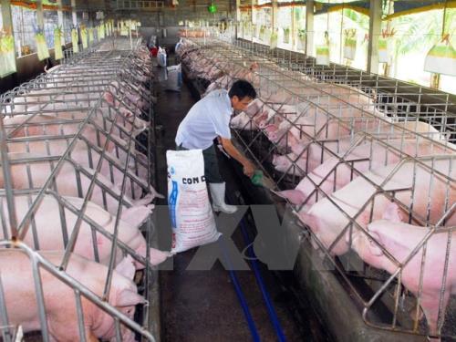 Chăn nuôi lợn theo tiêu chuẩn VietGap ở Thành phố Hồ Chí Minh. Ảnh: Mạnh Linh-TTXVN