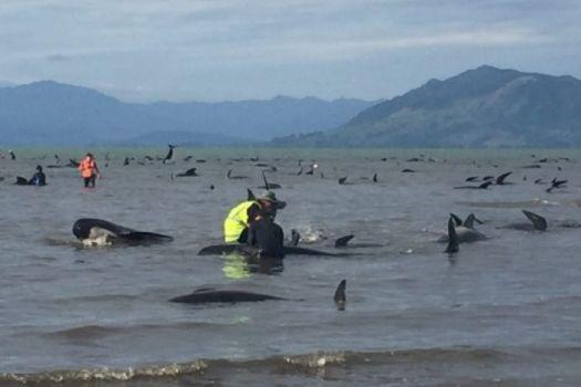 Nhân viên cứu hộ và người tình nguyện đang hỗ trợ những con cá voi còn sống. Ảnh: Fairfax