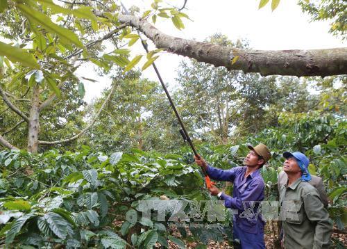 Sầu riêng chết hàng loạt gây thiệt hại cho nông dân