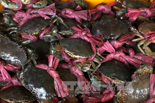 Giá cua biển thương phẩm tại Trà Vinh tăng cao. Ảnh: Duy Ba/TTXVN