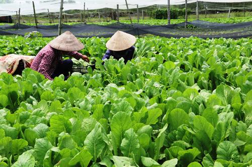 Kết quả hình ảnh cho HTX nông nghiệp Hồ chí minh