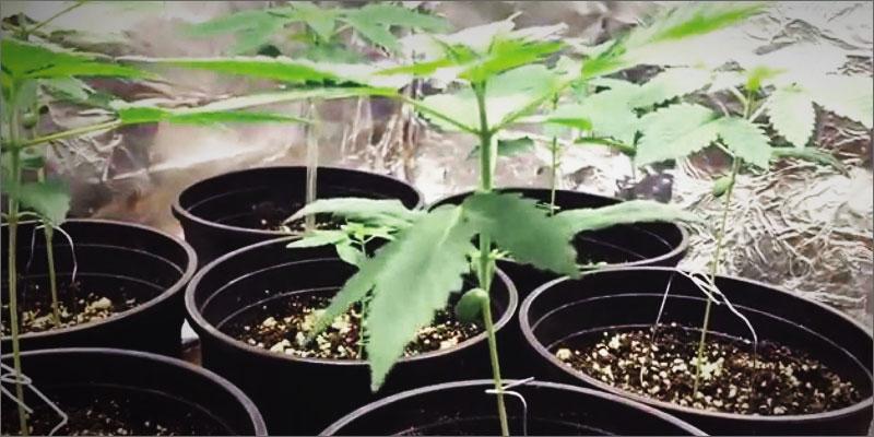 Kết quả hình ảnh cho trồng cần sa
