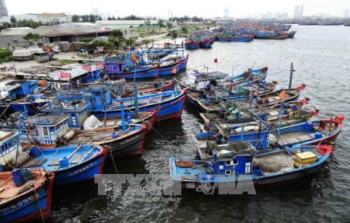 Tàu cá của ngư dân các tỉnh miền Trung về neo đậu tránh bão tại Âu thuyền Thọ Quang (Đà Nẵng). Ảnh minh họa: Trần Lê Lâm/TTXVN