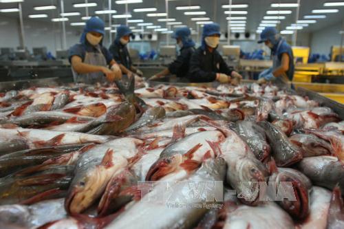 Chế biến cá tra xuất khẩu tại Công ty Thủy sản Bình An, thành phố Cần Thơ. Ảnh: Huy Hùng/TTXVN