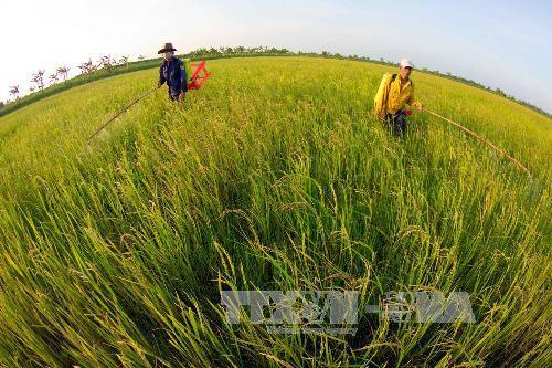Cánh đồng lúa hữu cơ chức năng tại xã Khánh An, huyện U Minh, Cà Mau. Ảnh: Duy Khương/TTXVN