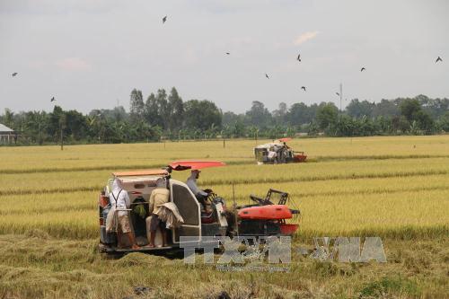Thu hoạch lúa hè thu trên cánh đồng xã Mỹ Thành Nam, huyện Cai Lậy, Tiền Giang. Ảnh: Minh Trí/TTXVN
